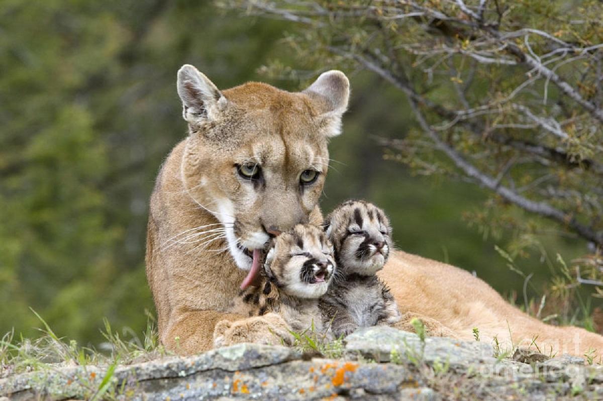 cougar y perros xx miguel hidalgo